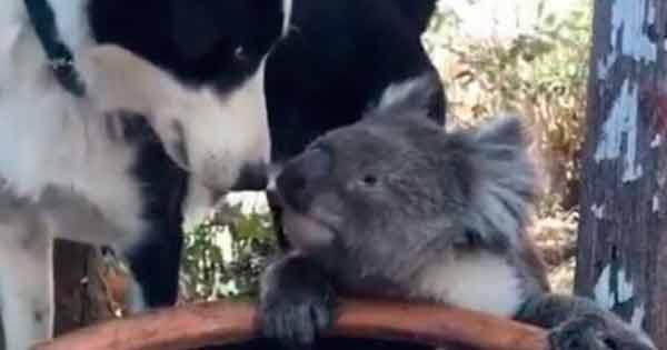 perro con un koala